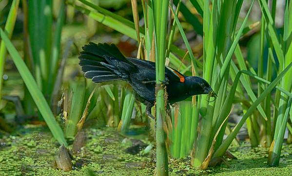 RW Blackbird with giant water bug