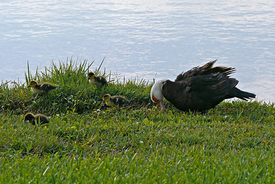 Muscovy Duck with ducklings