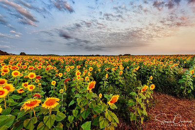Pope Farm Sunflowers