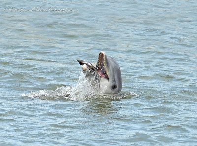 This Dolphin was in the Aransas Bay and we found him chasing fish and I was following the swirls when suddenly he leaped out of the water and threw this Sheep's Head fish up in the air like he was playing with it before he ate it. After this we didn't see him again. I guess he got his meal and left the area.