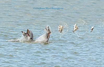 Here is the sequence shot of the 5 images with the fish flying thru the air. There was a sixth image but the fish was just laying on the water's surface. Not worth including. The picture with the third fish, the dolphin had already fallen back into the water.