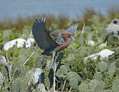 this is the normal Reddish Egret coloring. They are the most colorful of all the egrets and herons.