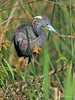 Tricolored Heron, April, 2004.