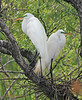 Great Egrets, March, 2004.