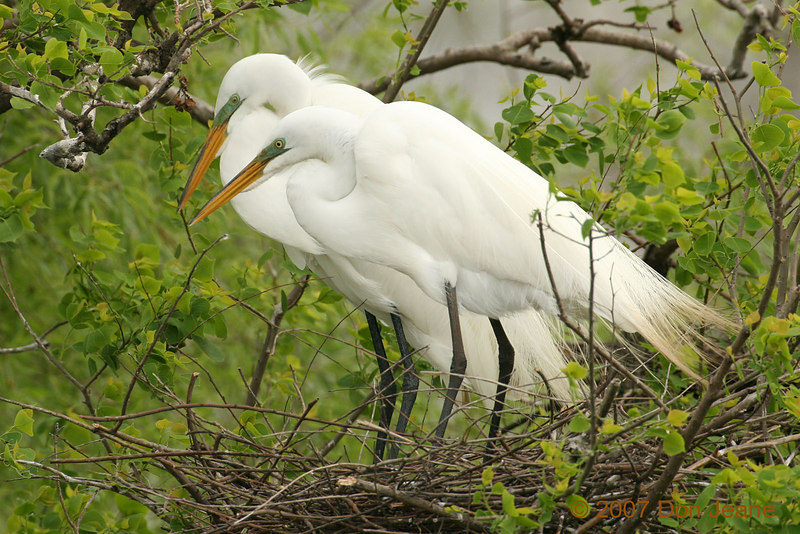 March 26, 2007. Great Egrets.