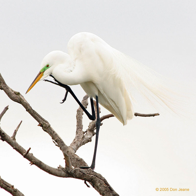 Great Egret, March, 2005.