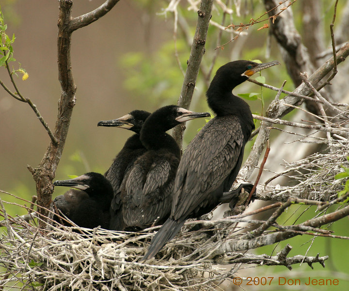 March 26, 2007. Neotropic Cormorants.