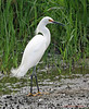 Snowy Egret, March 2004.