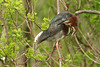 March 26, 2007. Green Heron.