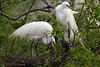 Great Egrets, 3/26/2007.
