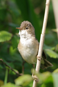 Reed Warbler....on a reed.