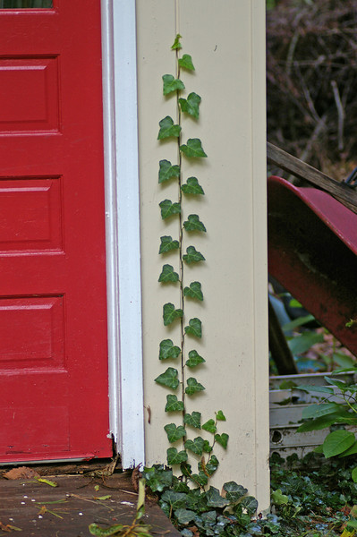 Ivy on shed