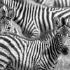 Peek a Boo Zebras