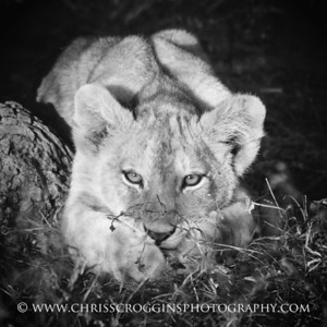 Latchkey Lion