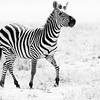 Ngorongoro Zebra