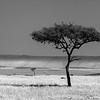 Solo Acacia