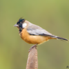 Charitospiza eucosma<br /> Mineirinho<br /> Coal-crested Finch<br /> Monterita crestada