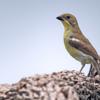 Neothraupis fasciata<br /> Cigarra-do-campo imaturo<br /> White-banded Tanager immature<br /> Tangará banda blanca - Tangara ñu