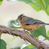 Charitospiza eucosma<br /> Mineirinho fêmea<br /> Coal-crested Finch female<br /> Monterita crestada