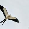 Elanoides forficatus<br /> Gavião-tesoura<br /> Swallow-tailed Kite<br /> Milano tijereta - Taguato jetapa