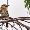 Nystalus maculatus<br /> Rapazinho-dos-velhos<br /> Spot-backed Puffbird<br /> Durmilí - chakuru para
