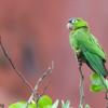 Thectocercus acuticaudatus<br /> Aratinga-de-testa-azul<br /> Blue-crowned Parakeet<br /> Maracaná cabeza azulada - Ñendai