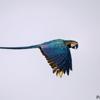 Ara ararauna<br /> Arara-canindé<br /> Blue-and-yellow Macaw<br /> Papagayo amarillo - Kaninde