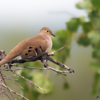 Uropelia campestris<br /> Rolinha-vaqueira<br /> Long-tailed Ground-Dove<br /> Columbina colilarga