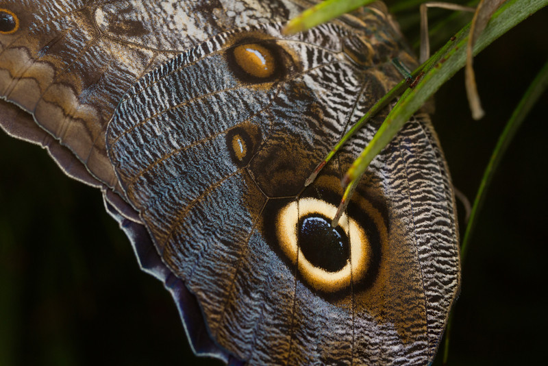 Closeup of Owl Butterfly wing