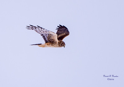Northern Harrier - Female