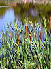 IMG_1217 Cat tails
