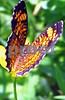 IMG_1219 Fritallary butterfly CU