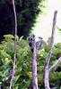 IMG_1253 Mockingbird w 2 woodpeckers 2