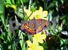 IMG_1221 Fritillary butterfly 2