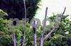 IMG_1256 Finch w 2 woodpeckers HZ best pc