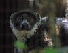 lemur2b