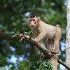 Southern Pig-Tailed Macaque (Macaca nemestrina) in Borneo, Malaysia. It is known locally as the Beruk.
