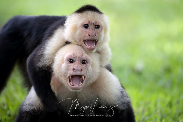 White-Faced Capuchins in Costa Rica.