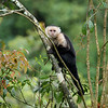White-Headed Capuchin in Costa Rica.