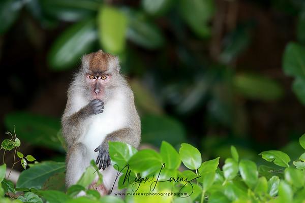 Long-tailed macaque on Pulau Tiga Island in Borneo, Malaysia.