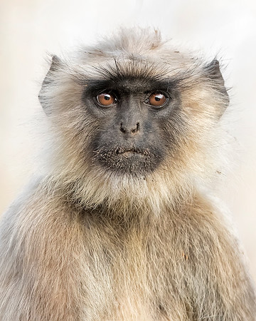 Bandhavgarh National Park  Black-faced Langur