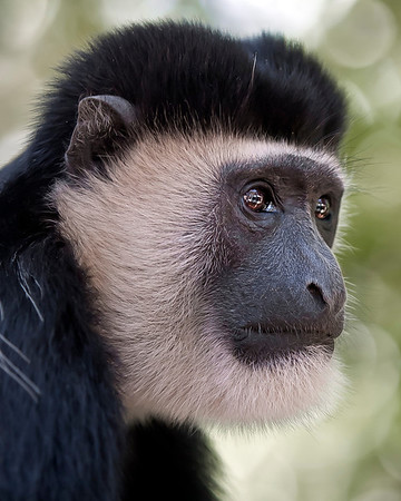 This photograph of a Colobus Monkey was captured in Kenya, Africa (3/11).           This photograph is protected by the U.S. Copyright Laws and shall not to be downloaded or reproduced by any means without the formal written permission of Ken Conger Photography.