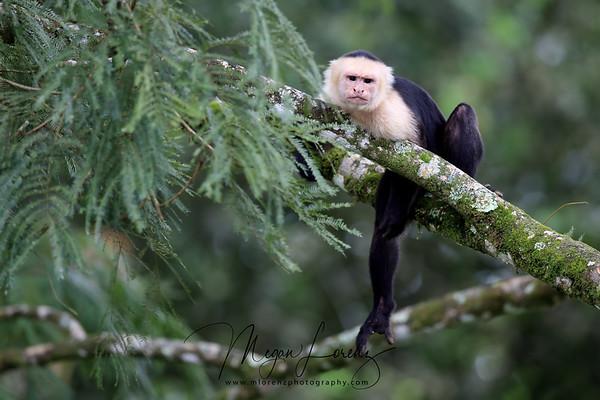 White-headed Capuchin Monkey in Costa Rica