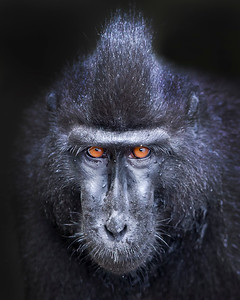 This portrait photograph of a Crested or Sulawesi Black Macaque was captured in Tangkoko National Park in Sulawesi, Indonesia (5/13).  This photograph is protected by the U.S. Copyright Laws and shall not to be downloaded or reproduced by any means without the formal written permission of Ken Conger Photography.
