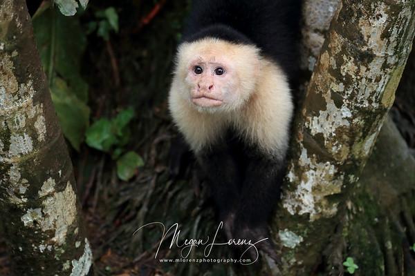 White-Headed Capuchin in Costa Rica.