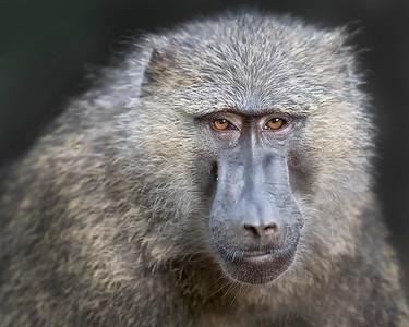 Kibale Baboon
