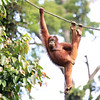 "Wild Orangutan in Malaysia. The name ""orangutan"" (also written orang-utan, orang utan, orangutang, and ourang-outang) is derived from the Malay and Indonesian words orang, meaning ""person"", and hutan, meaning ""forest"", thus ""person of the forest"".<br /> <br /> The Bornean orangutan is native to the island of Borneo. Together with the Sumatran orangutan and Tapanuli orangutan, it belongs to the only genus of great apes native to Asia.<br /> <br /> WWF Information:  <a href=""https://www.worldwildlife.org/species/bornean-orangutan"">https://www.worldwildlife.org/species/bornean-orangutan</a><br /> <br /> Bornean orangutan populations have declined by more than 50% over the past 60 years, and the species' habitat has been reduced by at least 55% over the past 20 years.<br /> <br /> The Bornean orangutan differs in appearance from the Sumatran orangutan, with a broader face and shorter beard and also slightly darker in color. Three subspecies are recognized, each localized to different parts of the island:<br /> <br /> Northwest Bornean orangutans are the most threatened subspecies. Its habitat has been seriously affected by logging and hunting, and a mere 1,500 individuals or so remain. Many habitat patches in the area are small and fragmented.<br /> Northeast Bornean orangutans are the smallest in size and found in Sabah and eastern Kalimantan as far as the Mahakam River.<br /> Central Bornean orangutans are the subspecies with the most animals, with at least 35,000 individuals.<br /> <br /> <a href=""https://blogs.scientificamerican.com/extinction-countdown/bornean-orangutan-critically-endangered/"">https://blogs.scientificamerican.com/extinction-countdown/bornean-orangutan-critically-endangered/</a>"