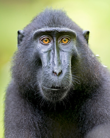 This photograph of a Crested or Sulawesi Black Macaque was captured in Tangkoko National Park in Sulawesi, Indonesia (5/13).  This photograph is protected by the U.S. Copyright Laws and shall not to be downloaded or reproduced by any means without the formal written permission of Ken Conger Photography.