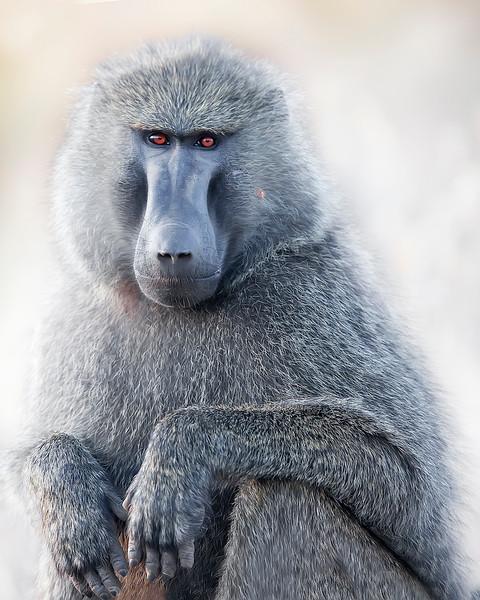 Samburu Baboon