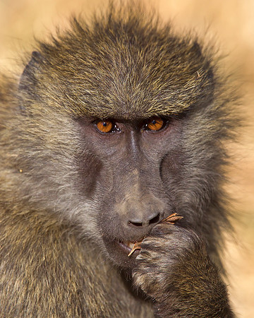 This photograph of a Olive Baboon was captured in Kenya, Africa (3/11).     This photograph is protected by the U.S. Copyright Laws and shall not to be downloaded or reproduced by any means without the formal written permission of Ken Conger Photography.